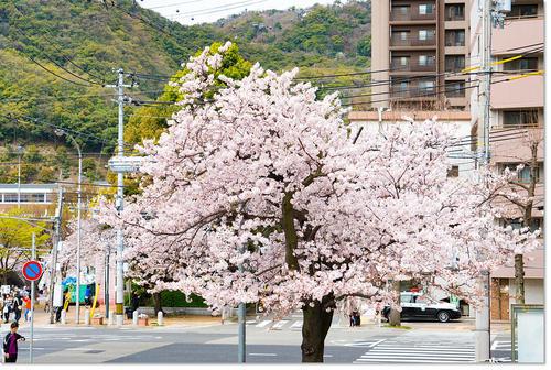 0403sakura08.jpg