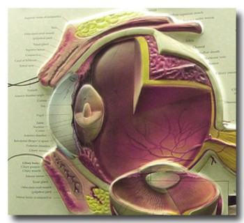 EyeAnatomy2.jpg