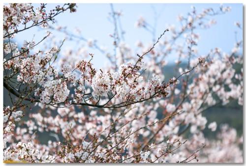 0331sakura03.jpg