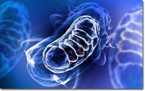 mitochondria0822.jpg