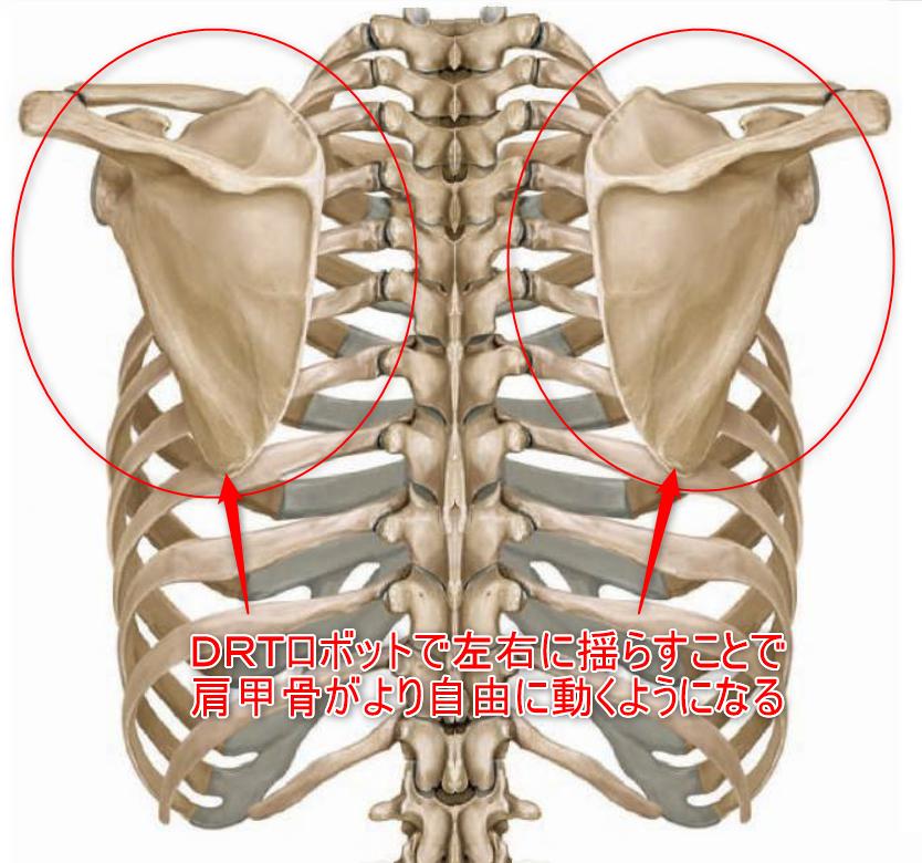 甲骨 筋違い 肩
